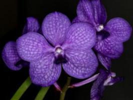 Vente d'orchidées en ligne , Vanda, Cattleya et de nombreuses autres espèces !