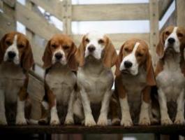 elevage de  beagle en  Alsace